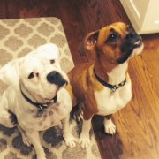 Oliver (fawn) with new fur-sister and NCBR alum Annie